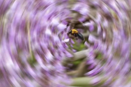 藤の花に寄ってくる熊蜂