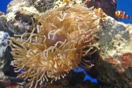 江ノ島水族館のクマノミ