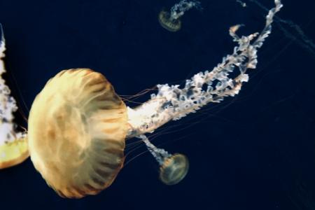 江ノ島水族館のクラゲ