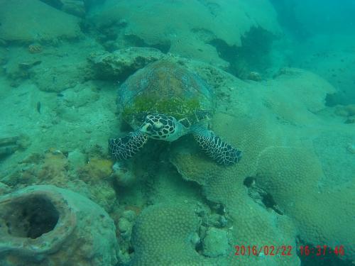 コッコ島 ウミガメ