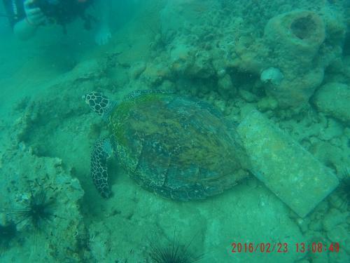 コッコ島 2日目 ウミガメ