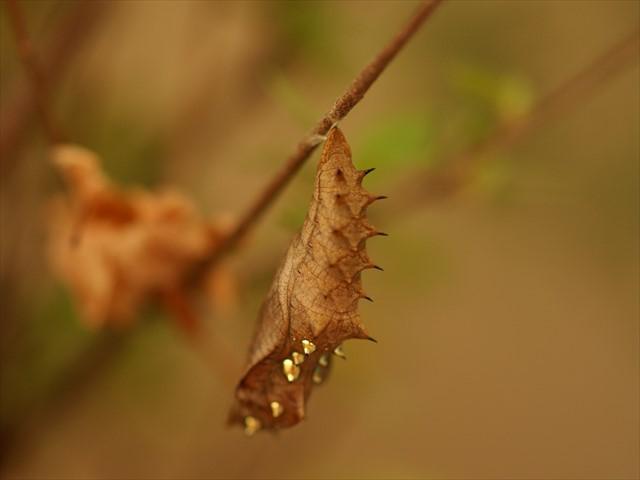ツマグロヒョウモンの蛹-2