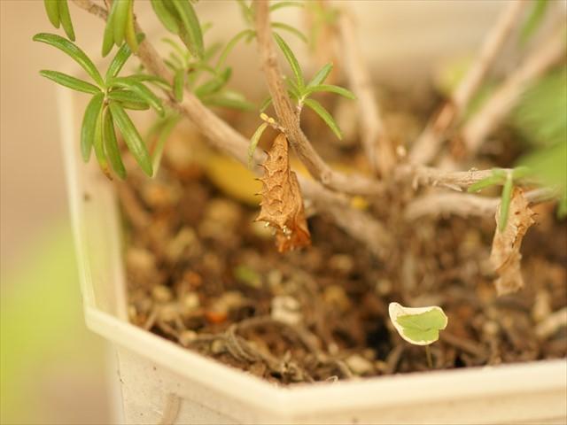 ツマグロヒョウモンの蛹-3
