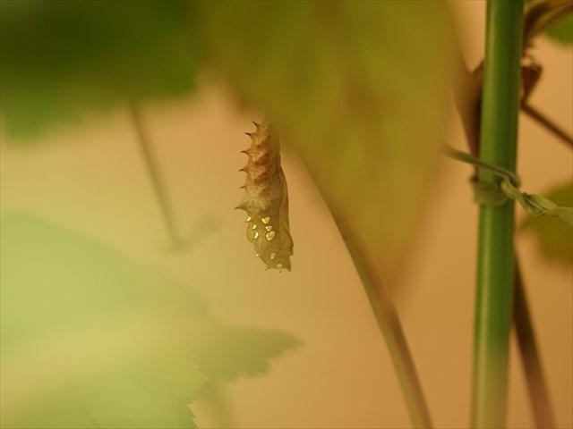 ツマグロヒョウモンの蛹-4
