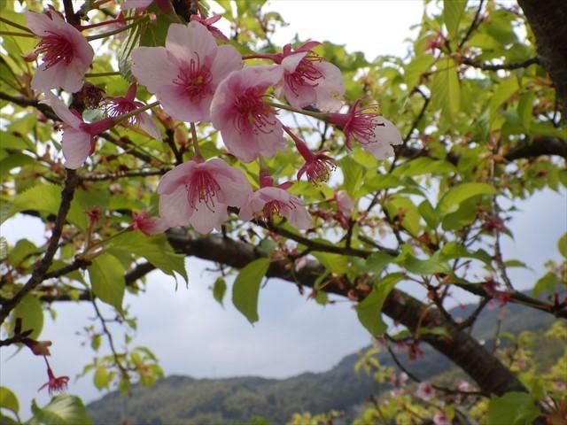 河津桜 ほたるの里公園