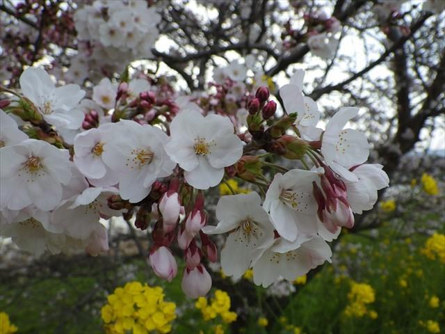 今川の桜-2
