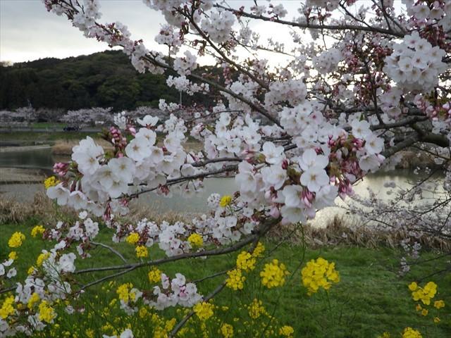 今川の桜-3