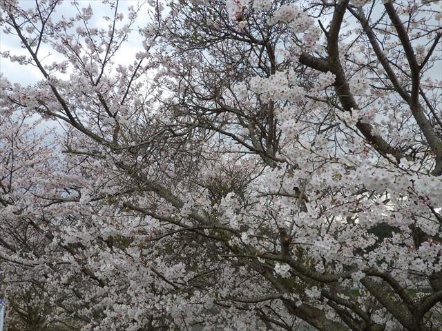 今川の桜-4