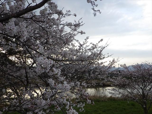 今川の桜-5
