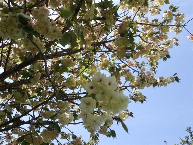 秡川-3 遅咲きの八重桜