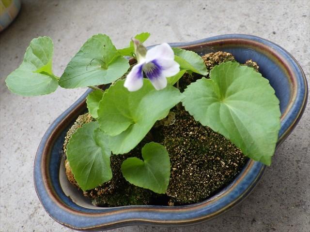 タチツボスミレの盆栽-1