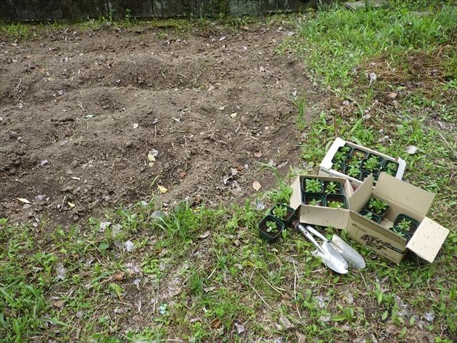 畑に植えようとしたところで・・・