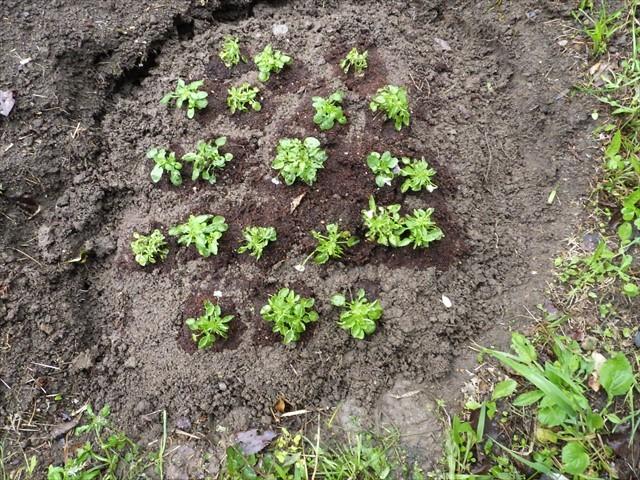 畑にビオラを植えた-3