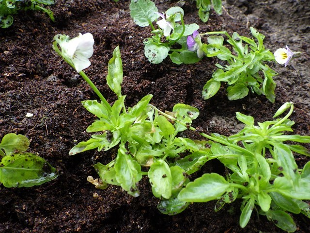 畑にビオラを植えた-2