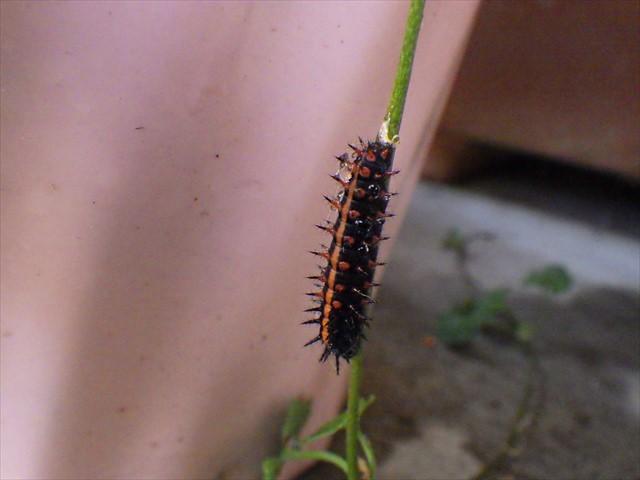 ツマグロヒョウモンの幼虫-4