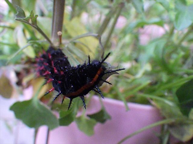 ツマグロヒョウモンの幼虫-2