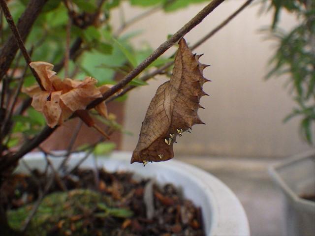 ツマグロヒョウモンの蛹-