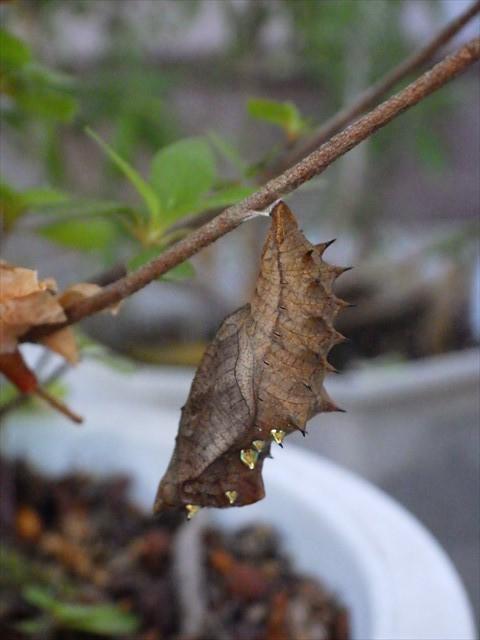 ツマグロヒョウモン-1