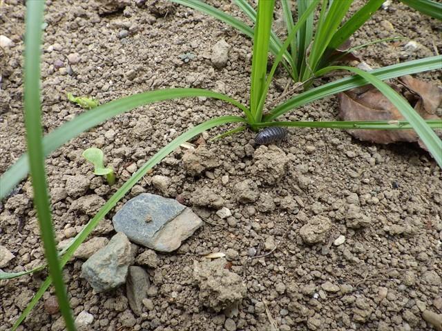 ダンゴムシと雑草