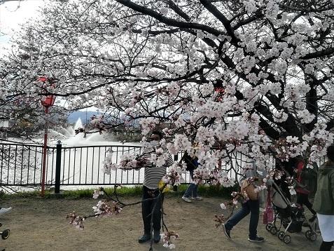 11 大中公園・桜の開花状況