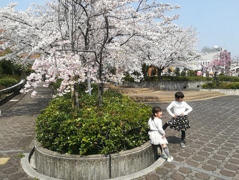15 図書館の前の桜