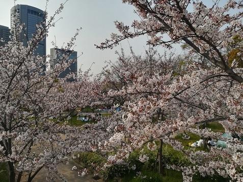 13 大川の桜