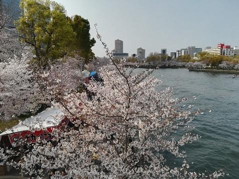 12 大川の桜