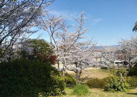 2 公園の桜は満開
