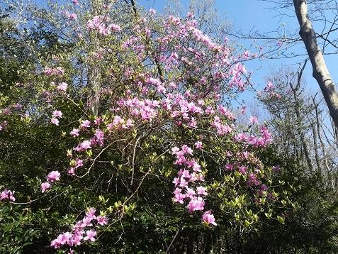 3 ツツジが咲き始めた
