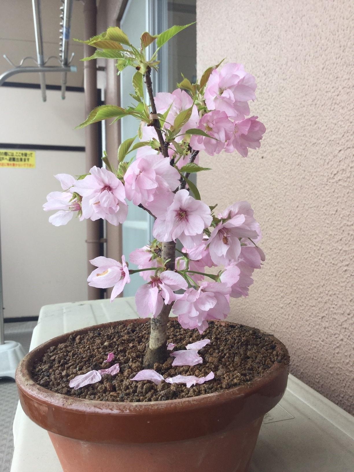 ブログ 桜2