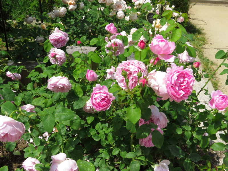 Rosa Charles Rennie Mackintosh
