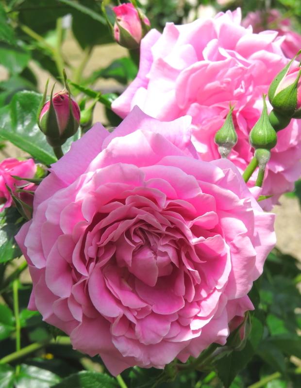Rosa St. Elizabeth