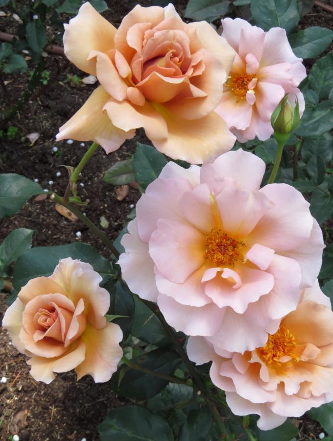 Rosa Julia