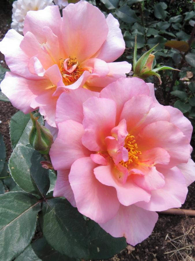 Rosa Autumn