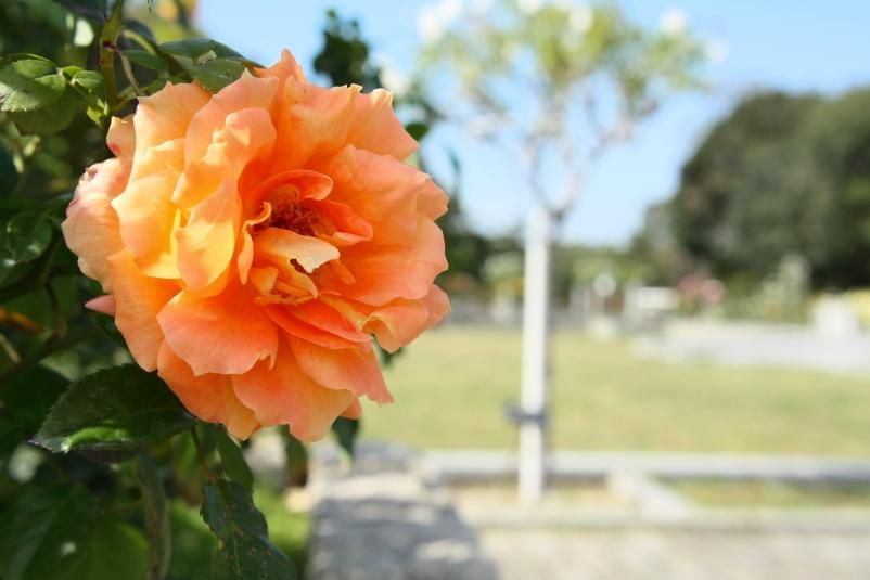Rosa 'Manyo'
