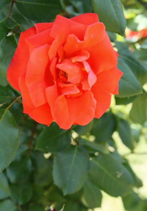 Rosa Climbing Rusticana
