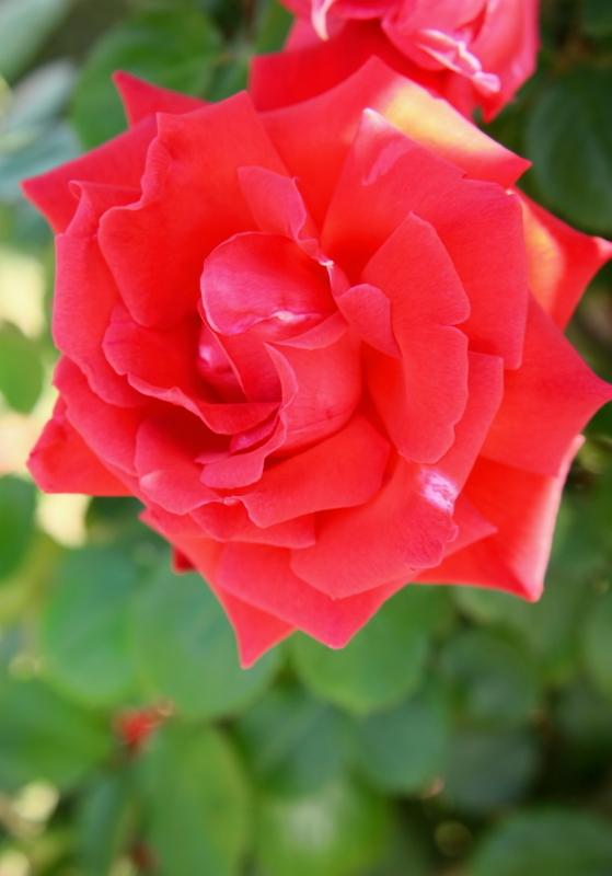 Rosa'Honoho no Nami'
