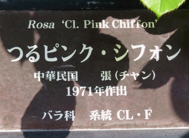 Rosa Climbing Pink Chiffon