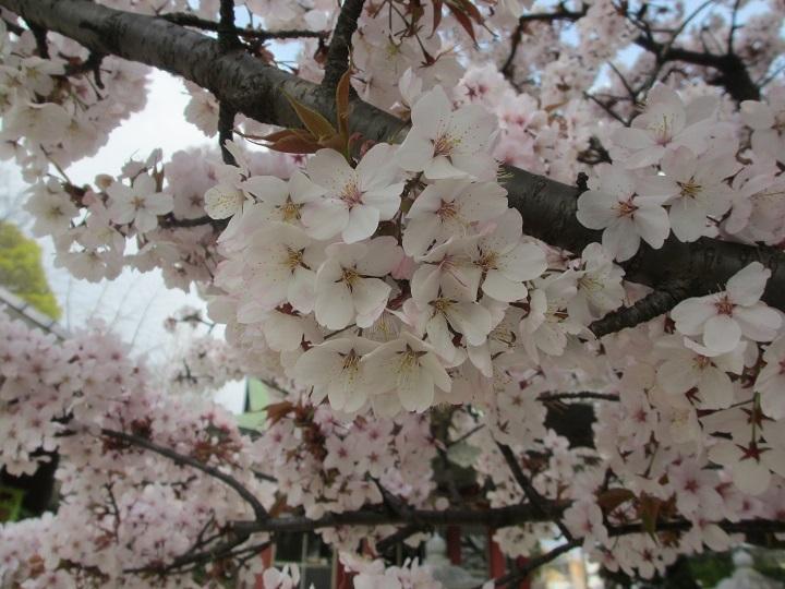 桜フレーム3