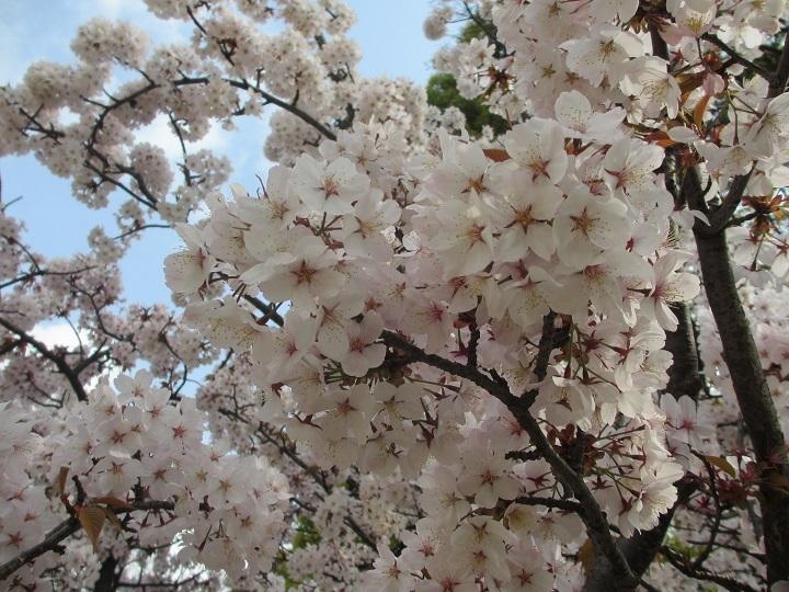 桜フレーム4