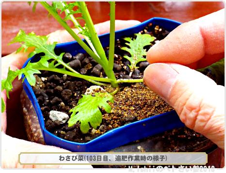 ペトさい(わさび菜III)46