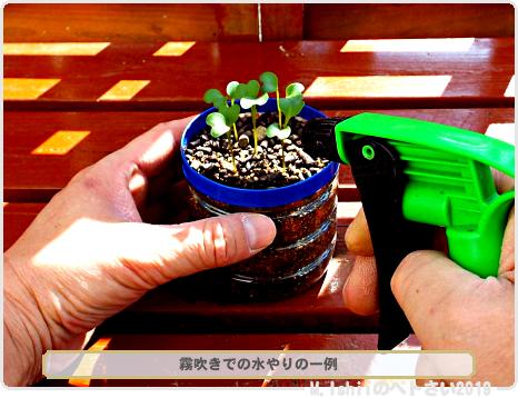 ペトさい(茎ブロッコリー)13