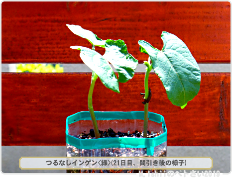 ペトさい(つるなしインゲン・Remake)20