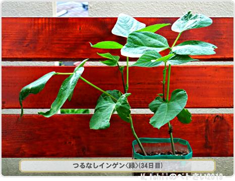 ペトさい(つるなしインゲン・Remake)24
