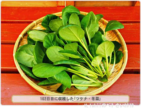 収穫した冬菜01