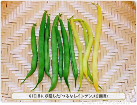 ペトさい(つるなしインゲン・Remake)35