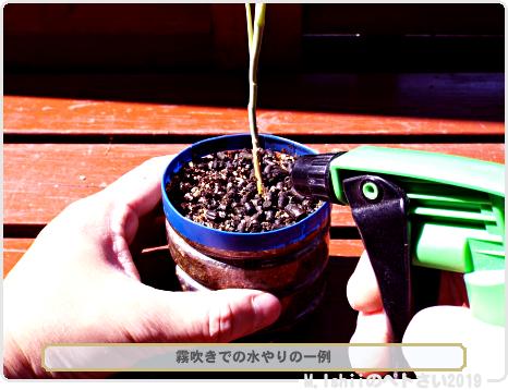 ペトさい(茎ブロッコリー)37