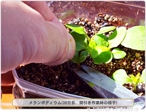 ペトさい(メランポディウム・改)13