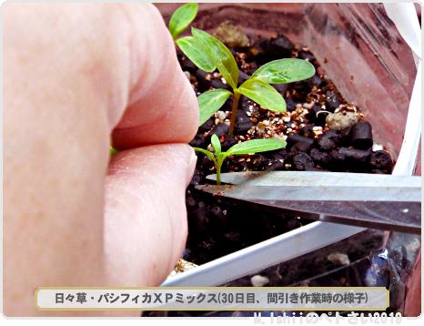 ペトさい(日々草)11