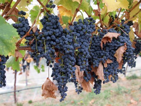 carmenere-grapes_convert_20190420060512.jpg